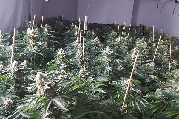 Cannabis worth estimated £300,000 found in police raid
