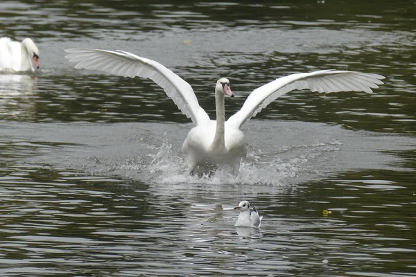 We need to protect our wonderful swans