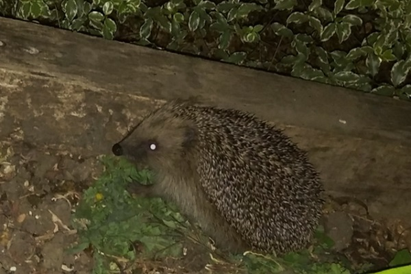 Spare a thought for our hedgehogs